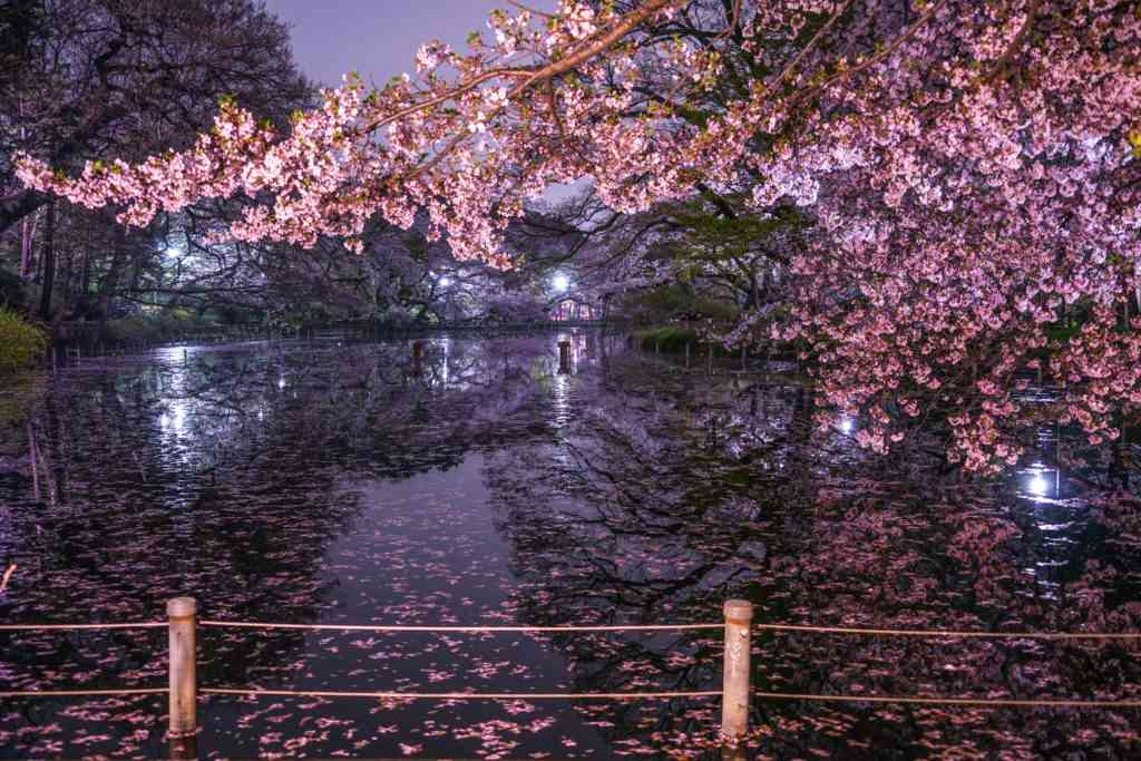 cherry blossoms in Kichijoji at night in Tokyo