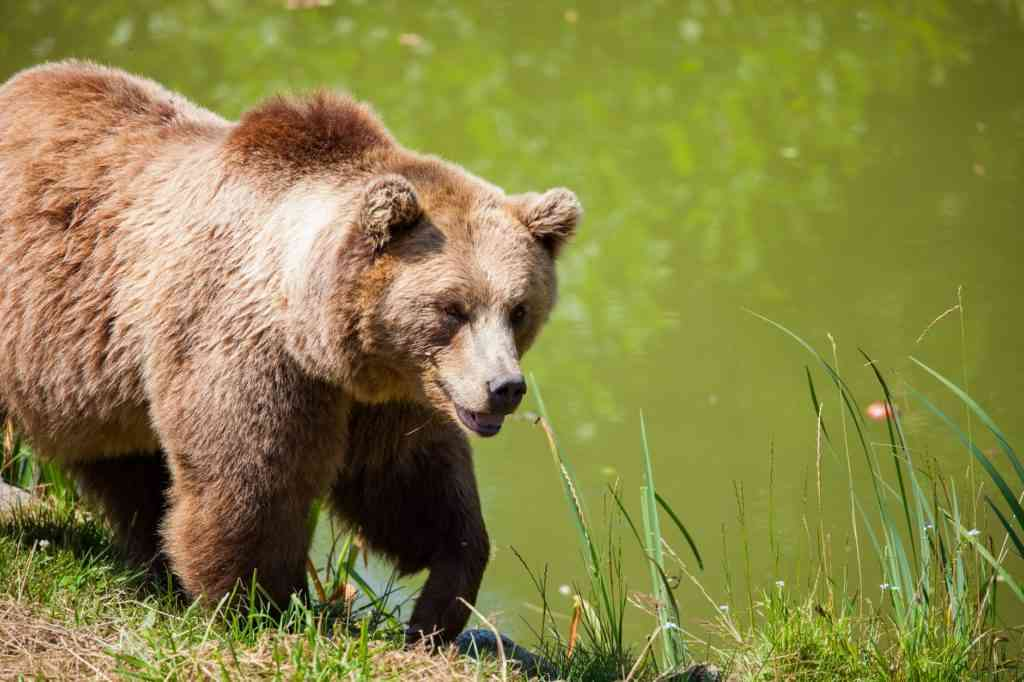 grizzly bear walking through field