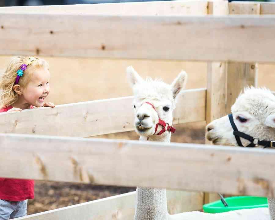 little girl looking at llamas in petting zoo