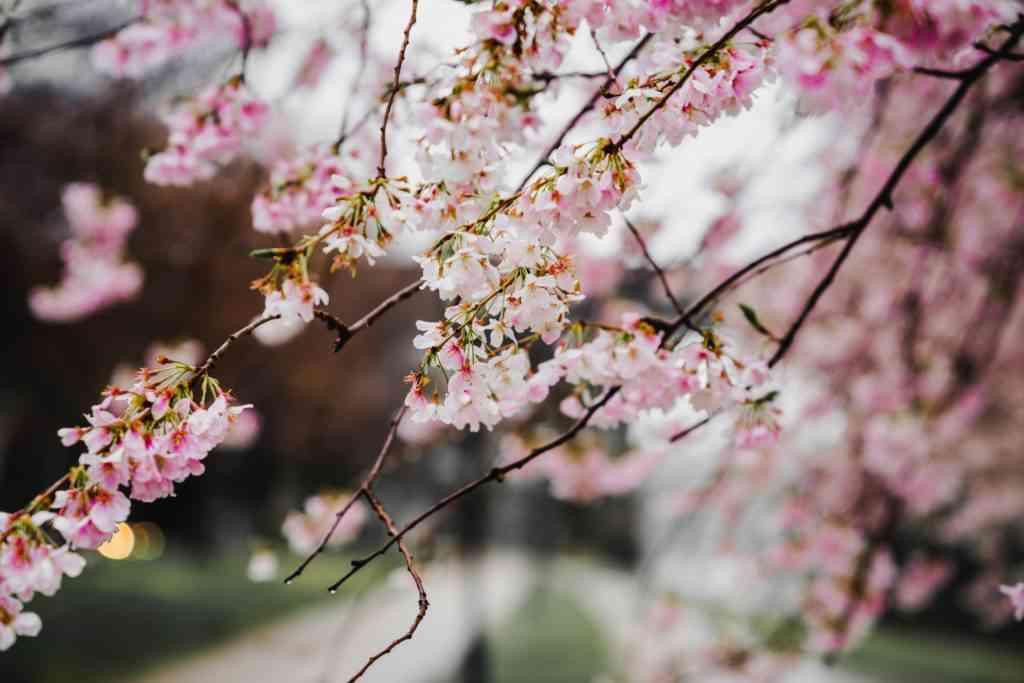 Cherry blossom trees in Kyoto Gyoen