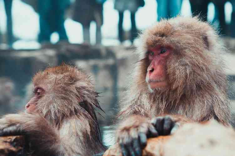 Japanese macaques during winter in Kyoto